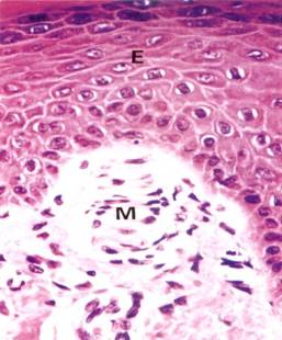 Integumentary System Micrograph of meissners corpuscle dermal papillae