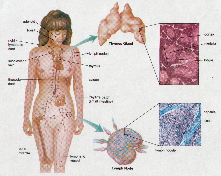 lymphatic system | byhealth, Human Body